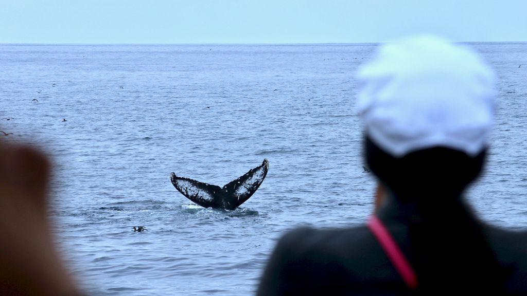 Noticia triste: Japón anuncia que reanudará la caza comercial de ballenas en 2019