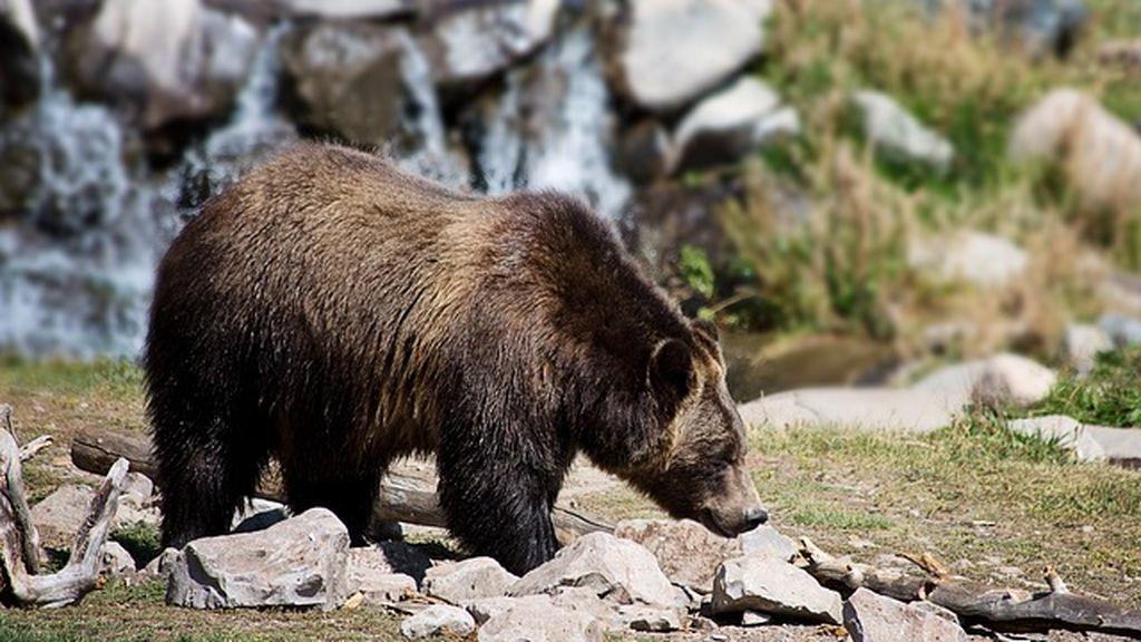 Un cazador ruso mure tras ser atacado por un oso que él mismo crió