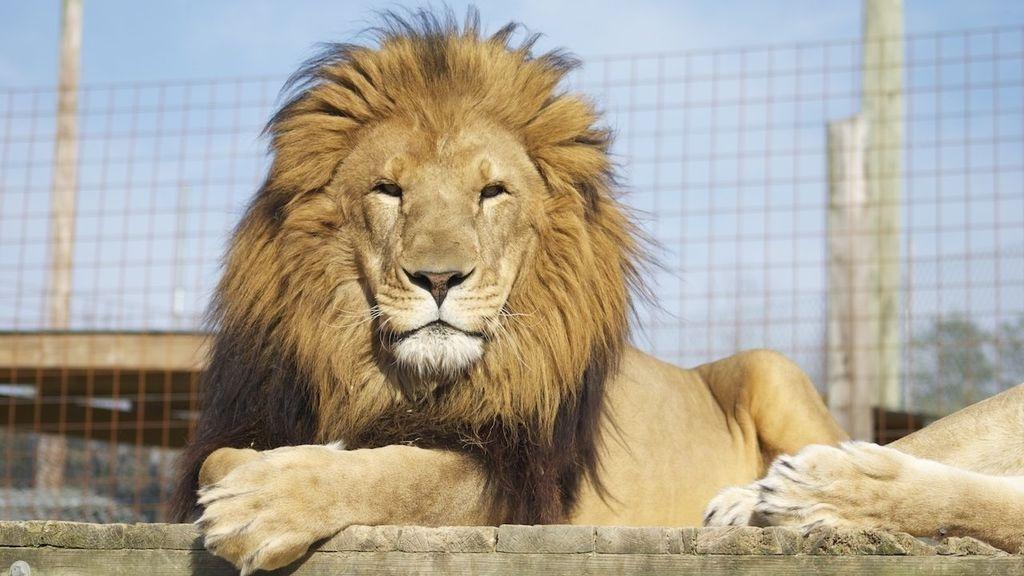 Un muerto tras escaparse un león en un centro de fauna