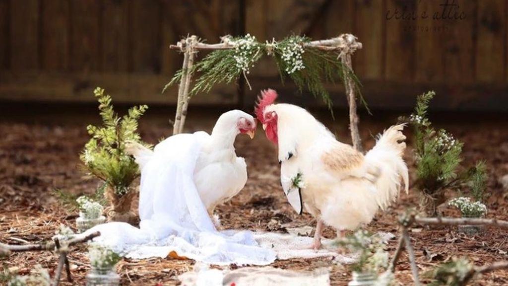 Una fotógrafa estadounidense inmortaliza la boda entre un gallo y una gallina