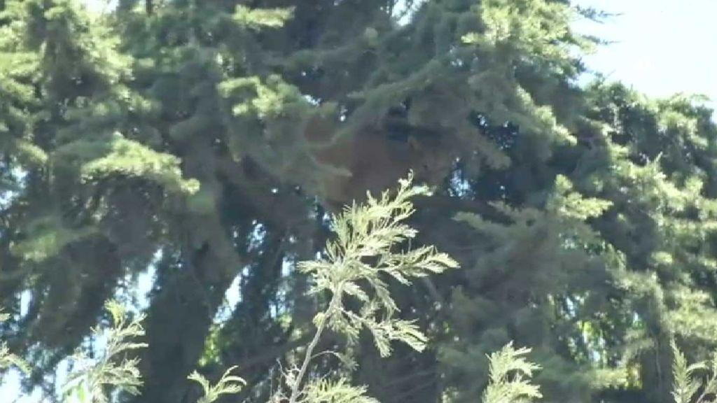 Increíble rescate de un puma atrapado en un árbol a 15 metros de altura