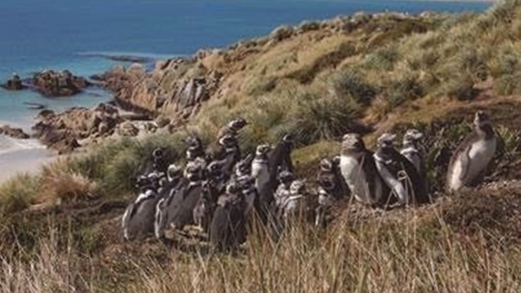 Perdidas y sin nieve: miles de pingüinas varadas en la costa sudamericana