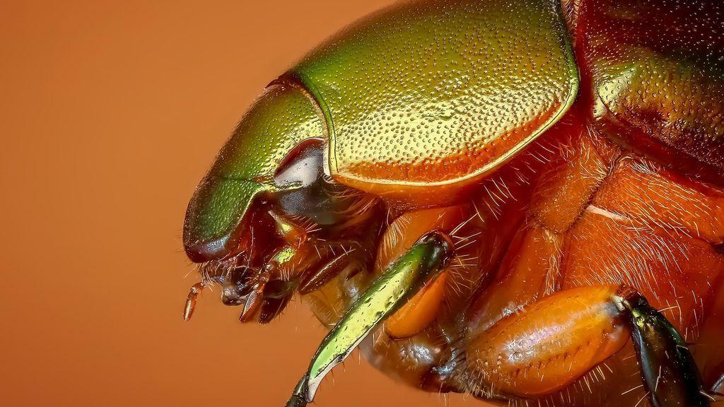 Descubren al escarabajo portugués que vive en solitario en aguas subterráneas
