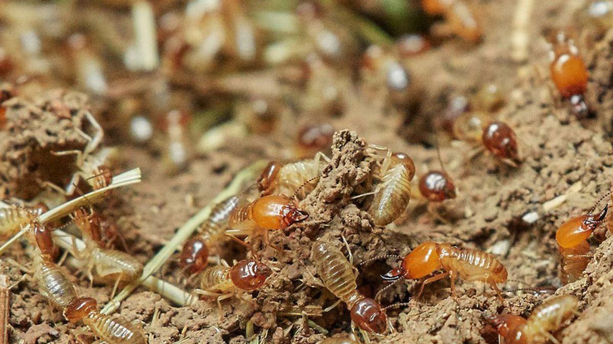 Las termitas mitigan los efectos de la sequía en las selvas tropicales