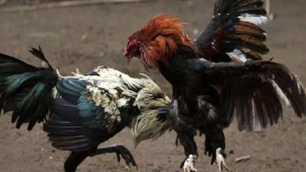 La Policía detiene a más de 200 personas en Murcia en una operación contra las peleas de gallos