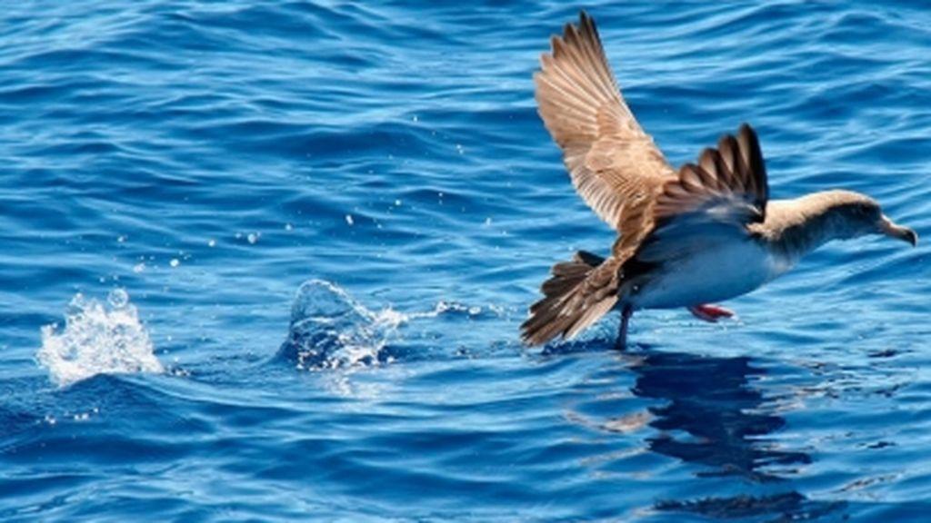 Las aves permiten detectar la velocidad de las corrientes marinas, según un estudio del CSIC