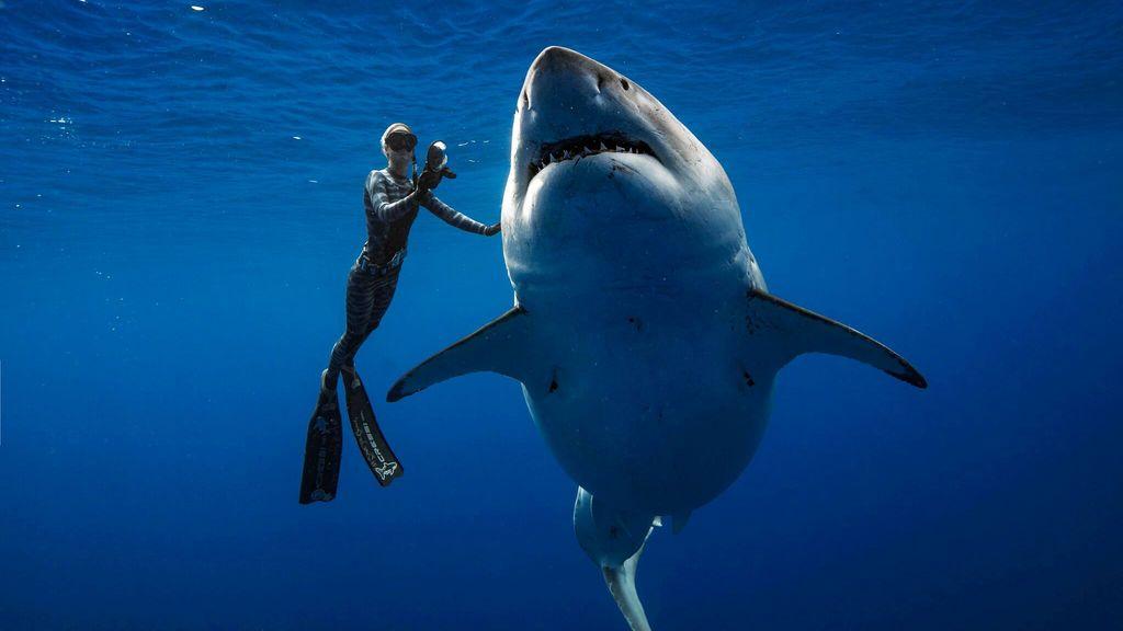 Una buceadora nada junto a uno de los ejemplares más grandes de tiburón blanco en Hawaii