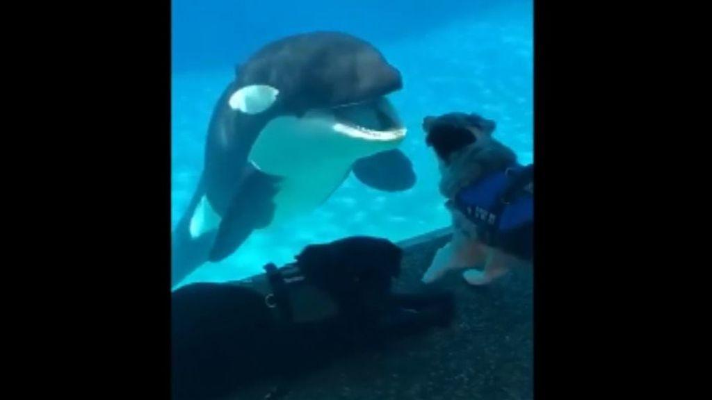 Una orca muestra su alegría al ver a un perro por primera vez