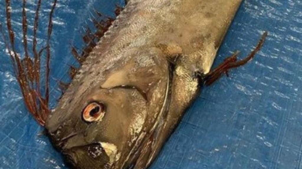 Un pez anuncia la posible llegada de un terremoto o tsunami a Japón