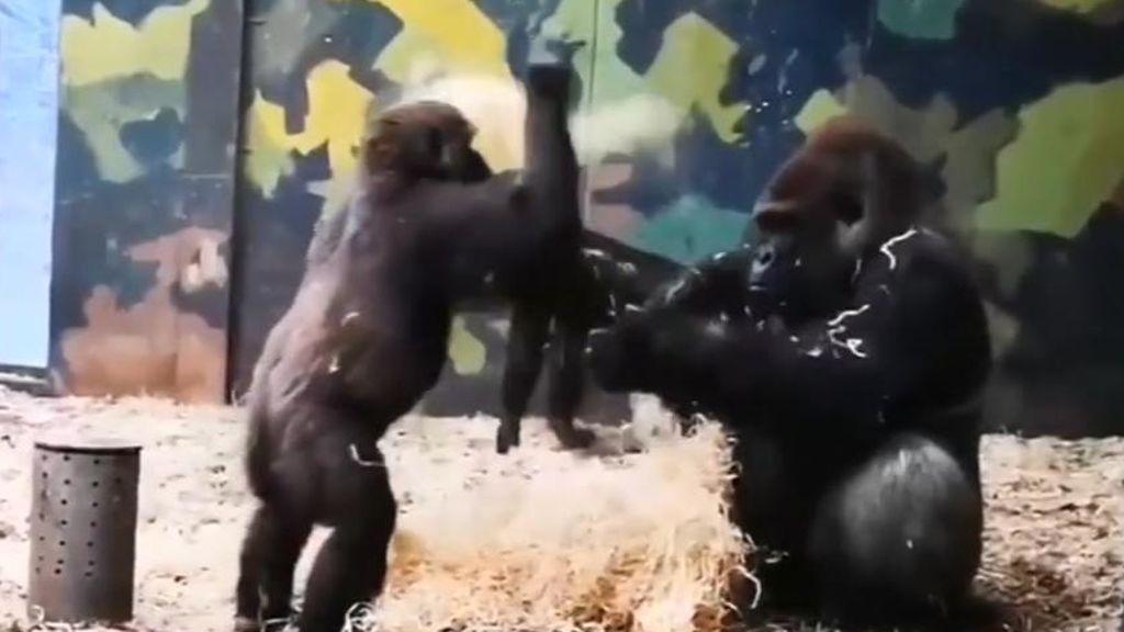 La infinita paciencia de un gorila con su hermano pequeño