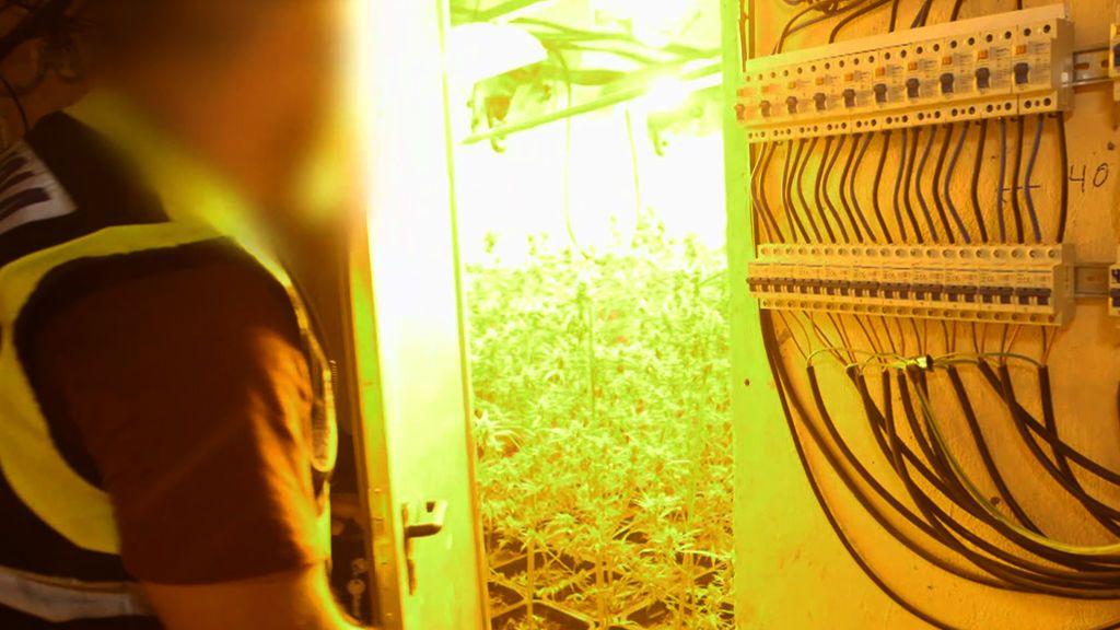 """Hallan 2000 plantas de marihuana y el dueño dice que es """"para consumo propio"""""""