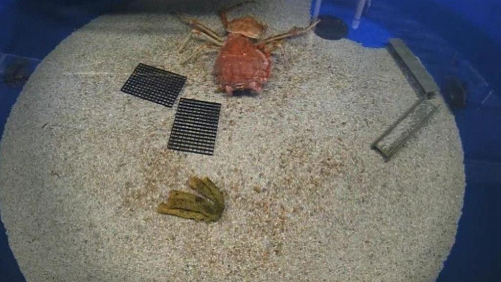 Impresionante momento en el que un cangrejo real muda su caparazón