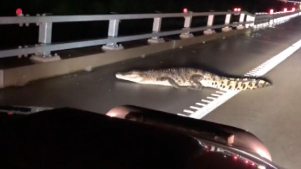 Las lluvias torrenciales provocan la presencia de cocodrilos en las carreteras de Australia
