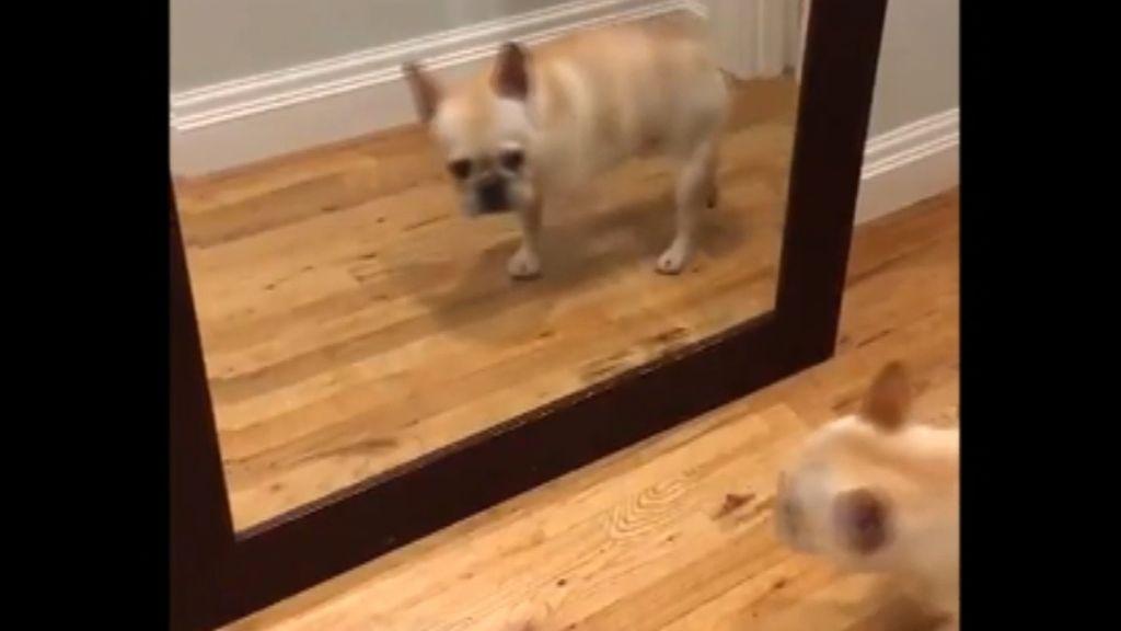 Descubre la reacción de un perro al ver su reflejo en un espejo
