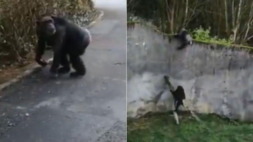 Un chimpancé utiliza un tronco a modo de escalera para escapar del zoo de Belfast