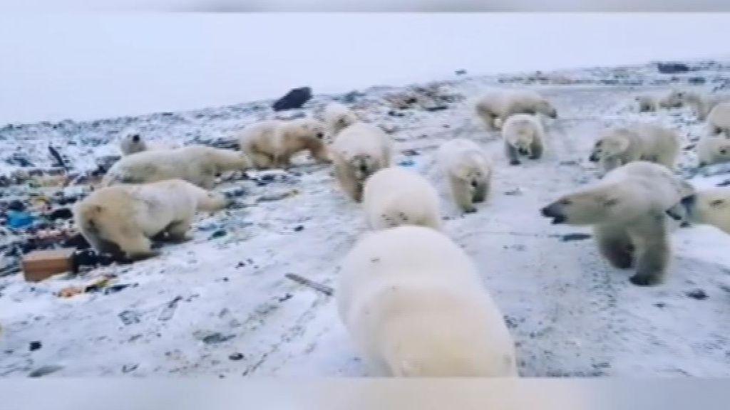 Estado de emergencia en un archipiélago ruso por la invasión de 52 osos polares