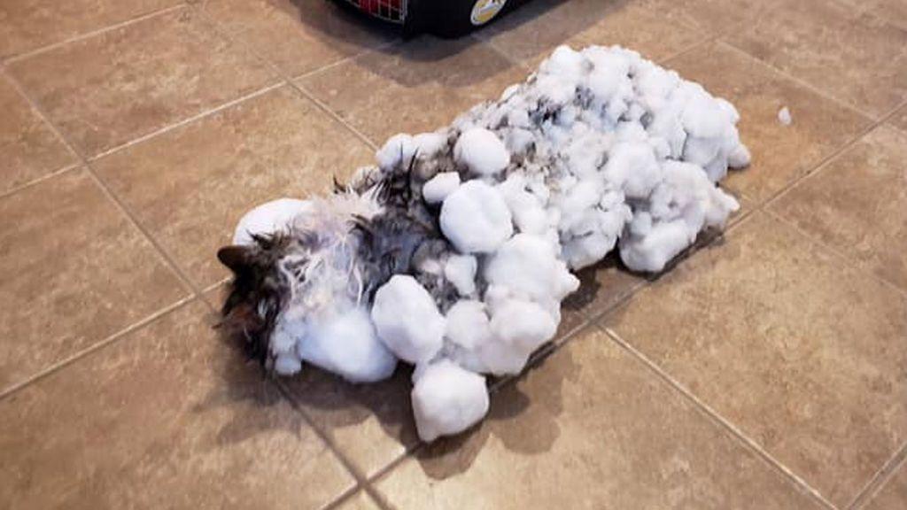 Fluffly, el gato congelado en Montana que volvió a maullar