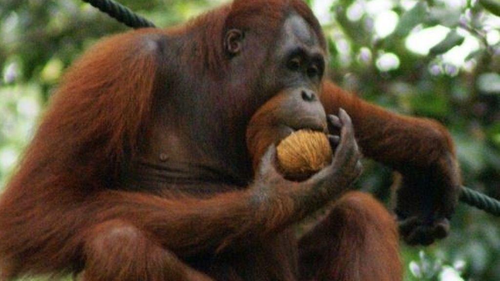Se parecen más a nosotros de lo pensamos: los orangutanes analizan antes de tomar una decisión
