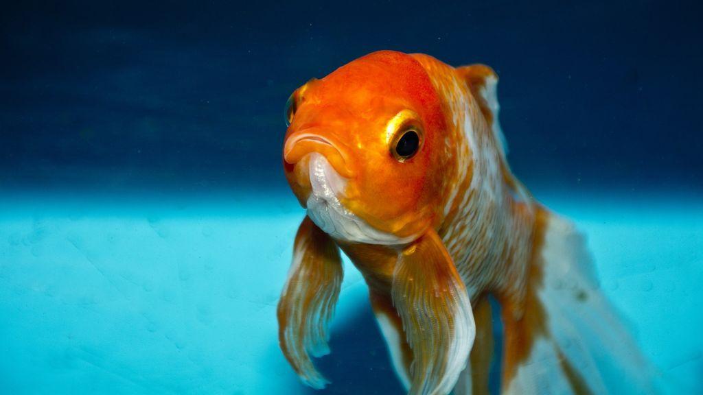 Liberar a tus peces domésticos en la naturaleza no es una buena idea