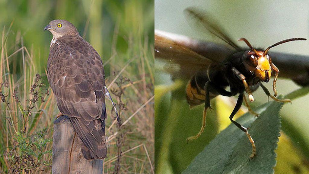 Un halcón contra la plaga de avispas asiáticas: así mata la naturaleza a cañonazos