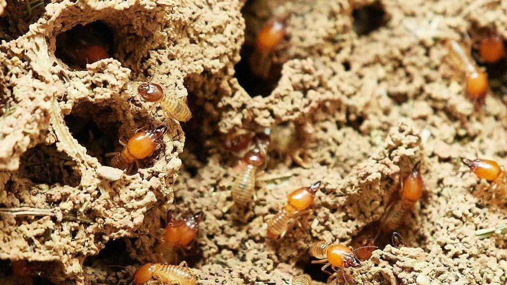 Un tipo de termitas invade varias zonas de Tenerife