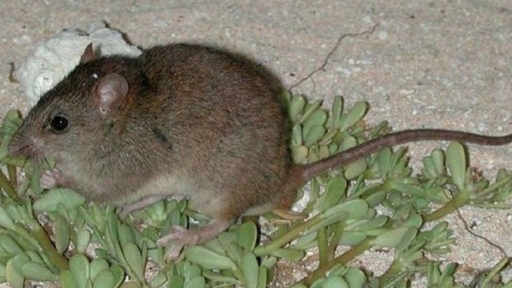 El climático se cobra otra víctima: primer caso de extinción de un mamífero