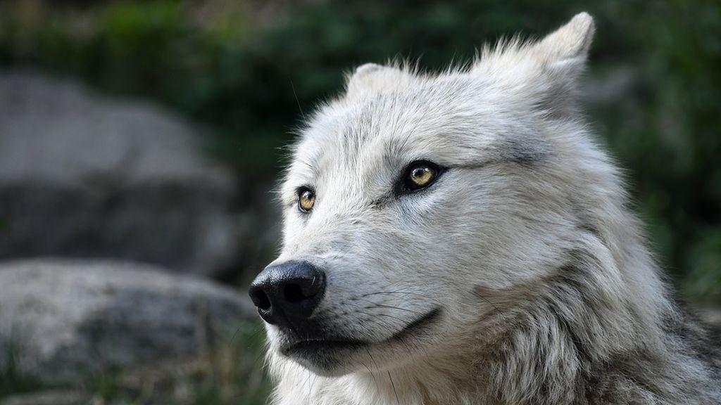 Rescatan a un lobo pensando que era un perro en Estonia