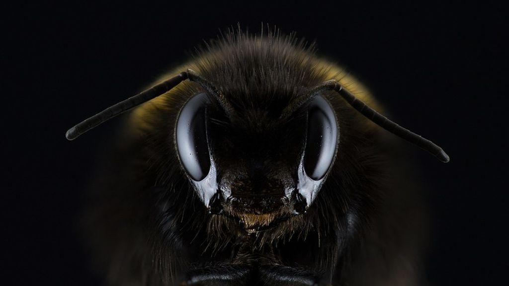 Reaparece la abeja más grande del mundo cuatro décadas después de creerse extinta