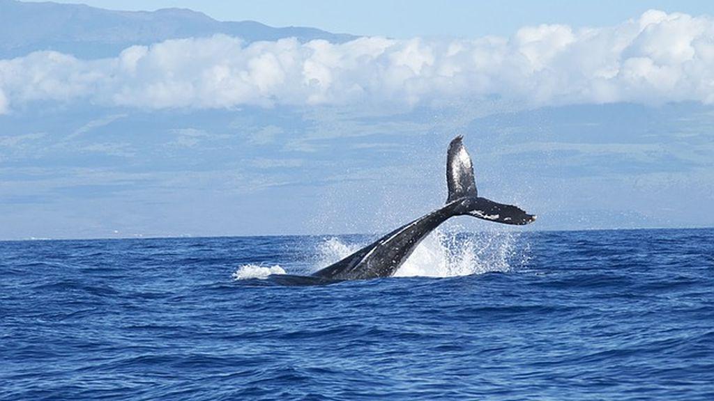 Las ballenas azules recurren a su memoria para localizar a sus presas