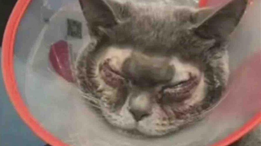 """Opera a su gato de cirugía estética por considerarle """"demasiado feo"""""""