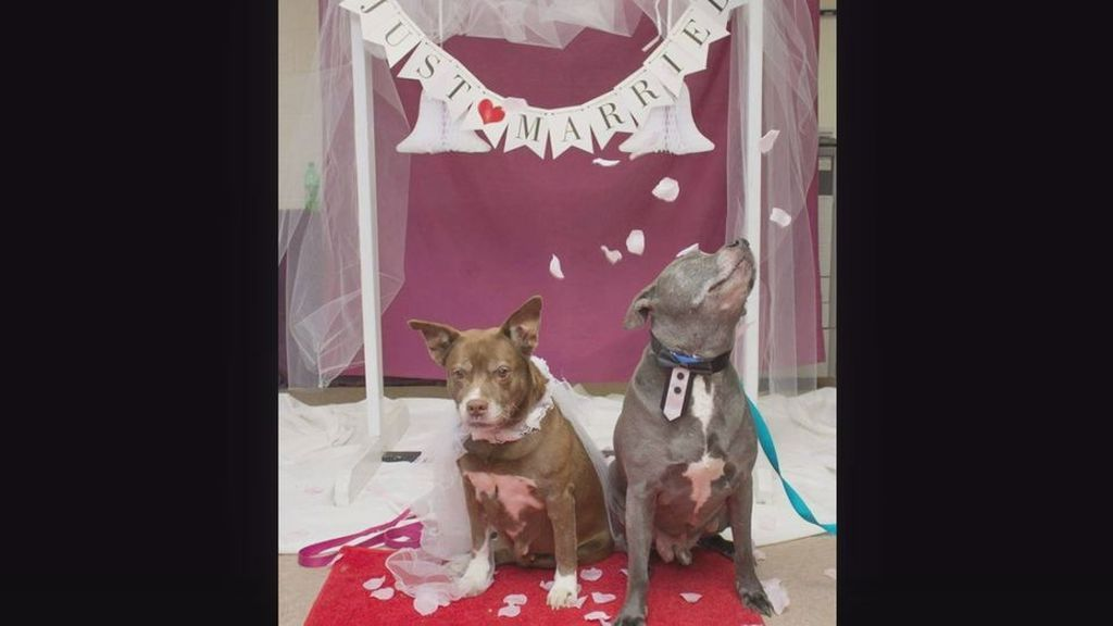 Dos perros se casan para así evitar ser separados en el proceso de adopción