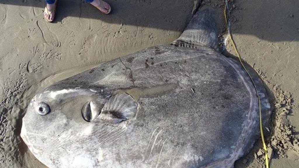 Encuentran gigantesco y raro pez en playa de California