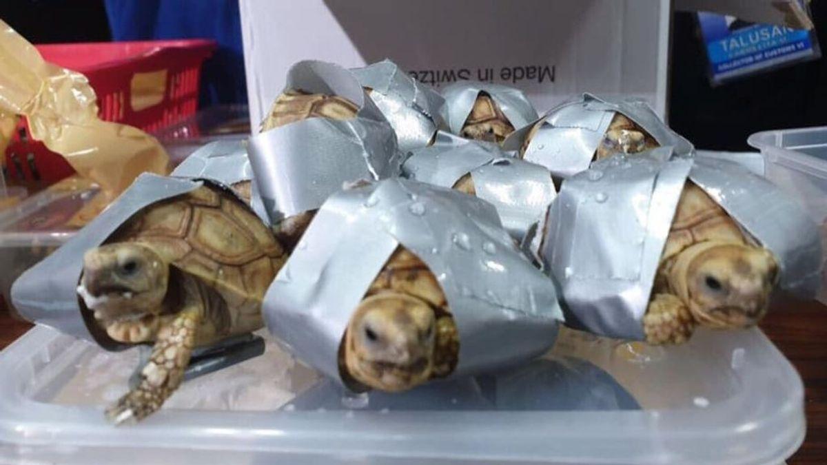 Encuentran a 1500 tortugas vivas envueltas con cita adhesiva dentro de unas maletas en Filipinas