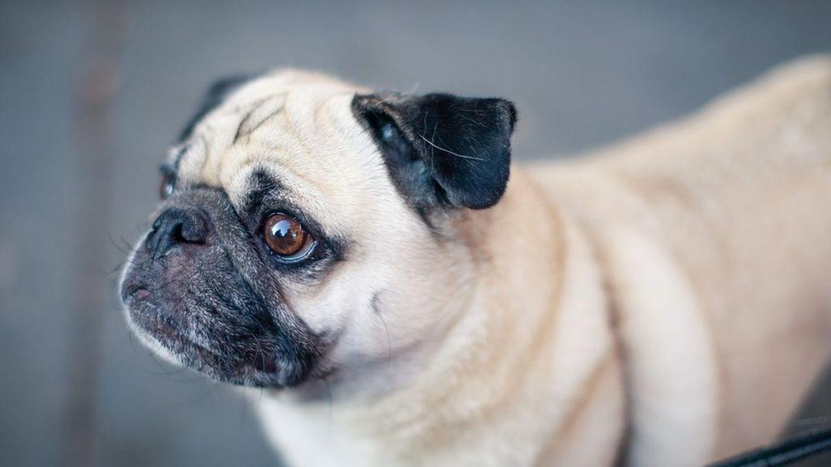 Las autoridades incautan un perro por las deudas de la familia y lo venden por internet en Alemania