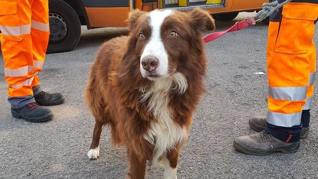 Un perro pastor persigue en la AP-7 al camión que llevaba a sus ovejas al matadero