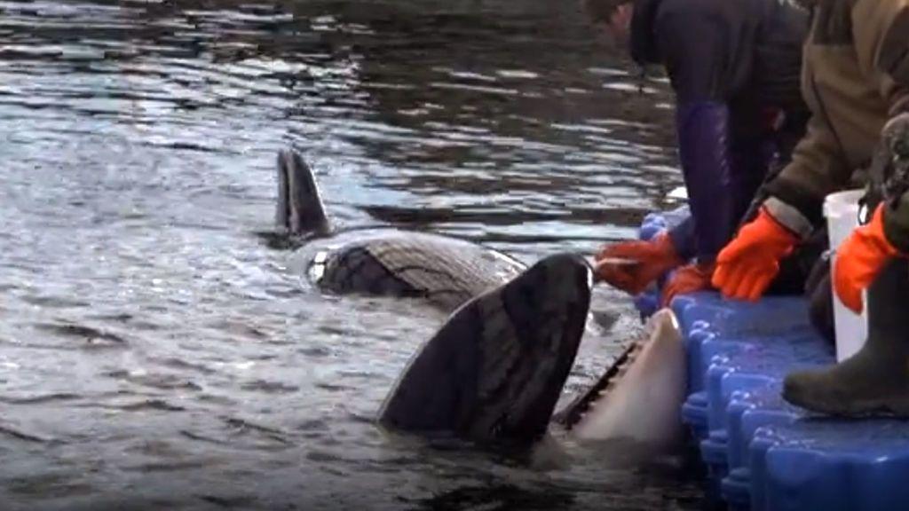 orcas-rusia
