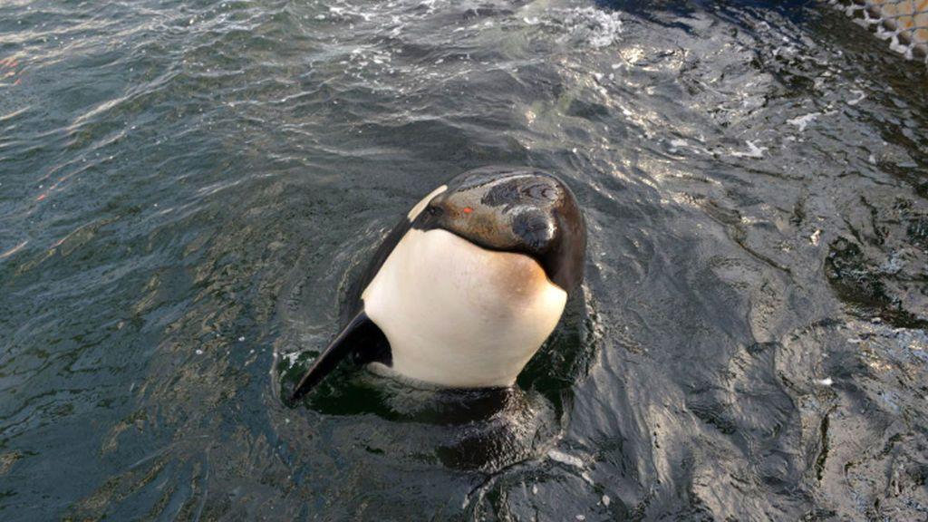 ¡Liberad a Willy!  Orcas y belugas  encerradas en cárceles de cetáceos para ser vendidas a los delfinarios