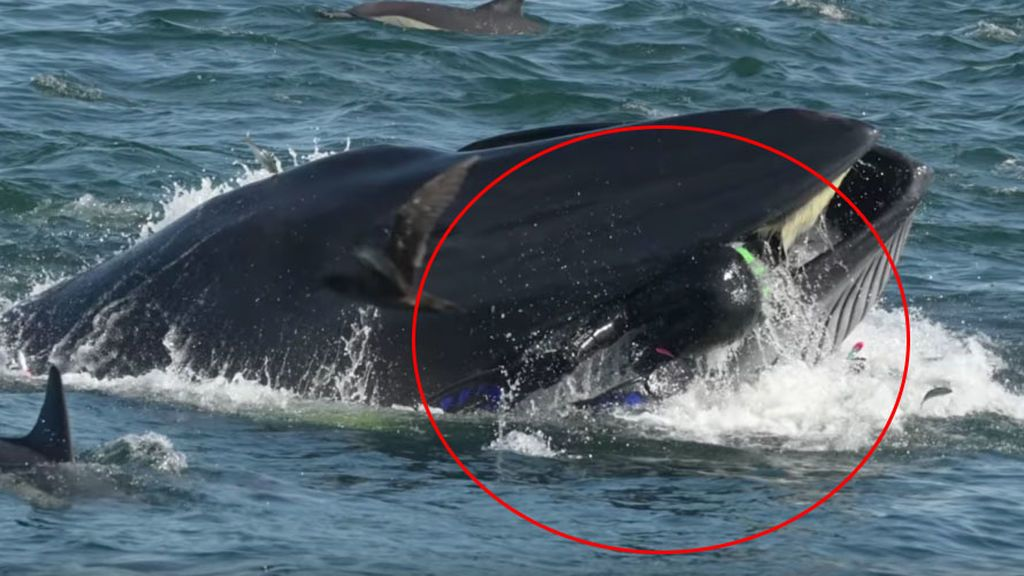 El angustioso momento en el que una ballena se zampa a un submarinista en Sudáfrica