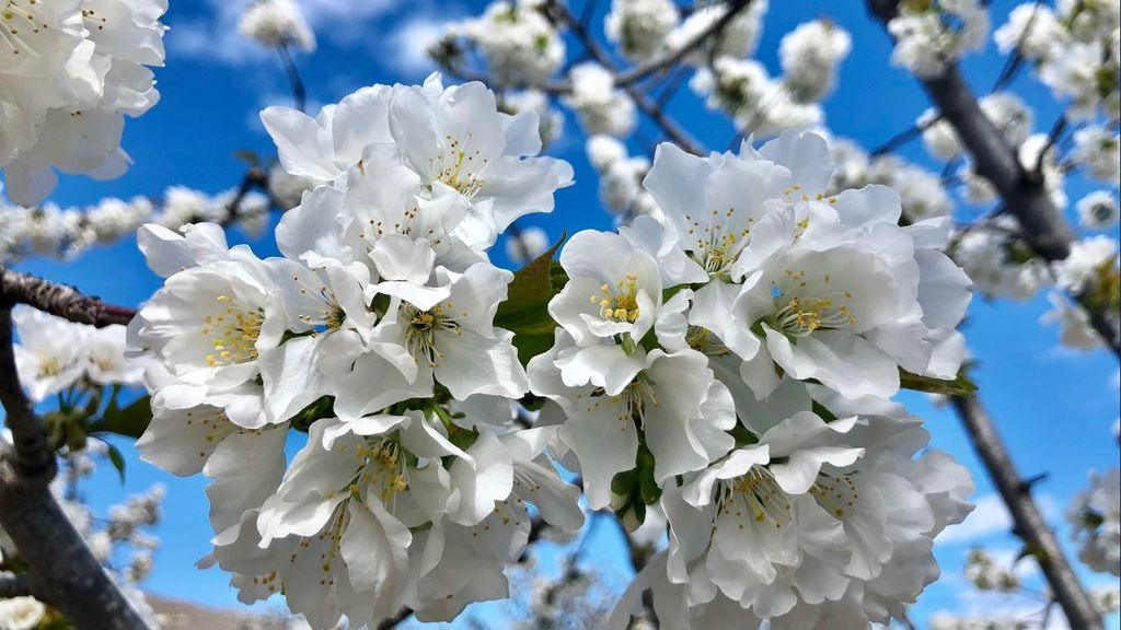 Las mejores cinco fotos de la floración de los cerezos del Jerte