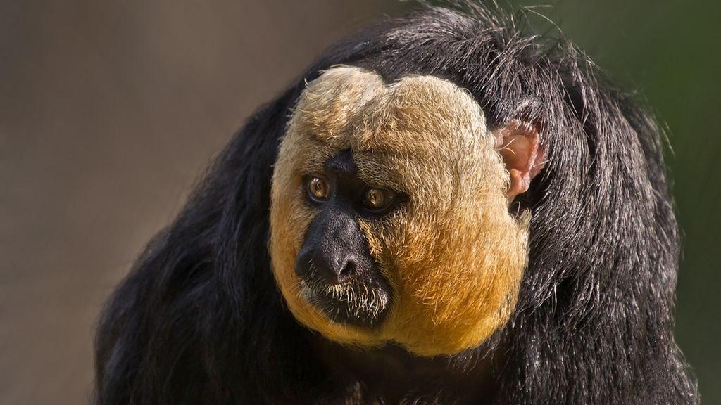 'Mono culturista': la vigorexia también llega a la selva