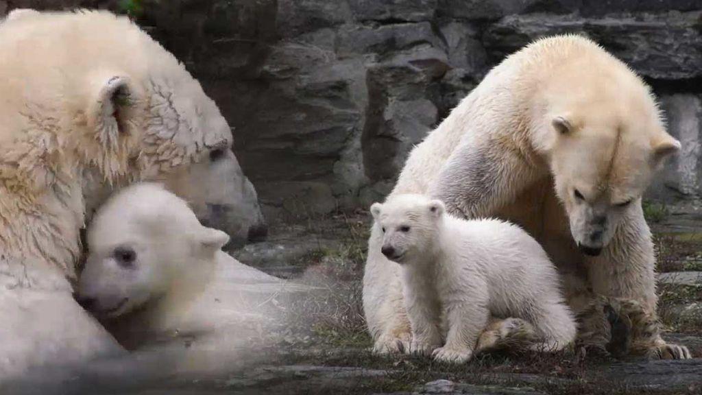Las imágenes más tiernas de la nueva cría de oso polar del zoo de Berlín