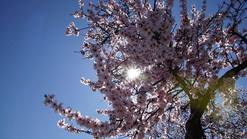 Cómo diferenciar entre un cerezo y un almendro en flor