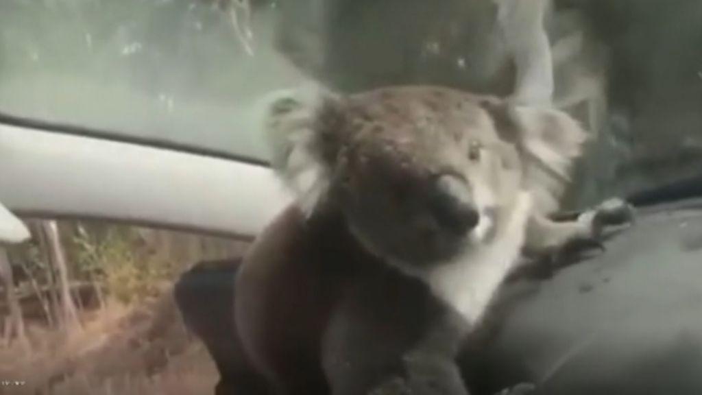 2d01d033d Un koala se cuela en un coche para huir del calor en Australia