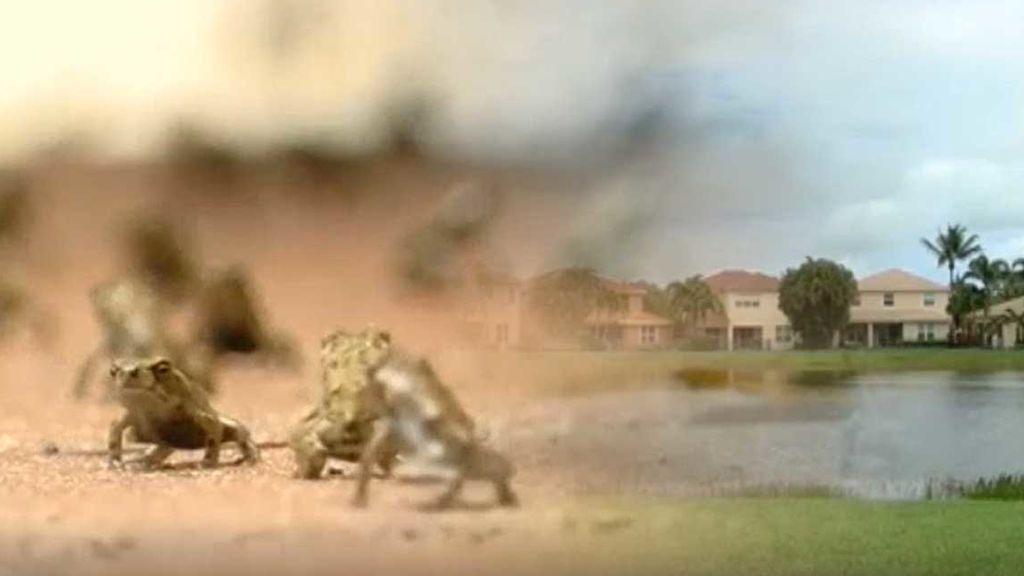 Invasión de plaga de sapos: son peligrosos para animales y personas
