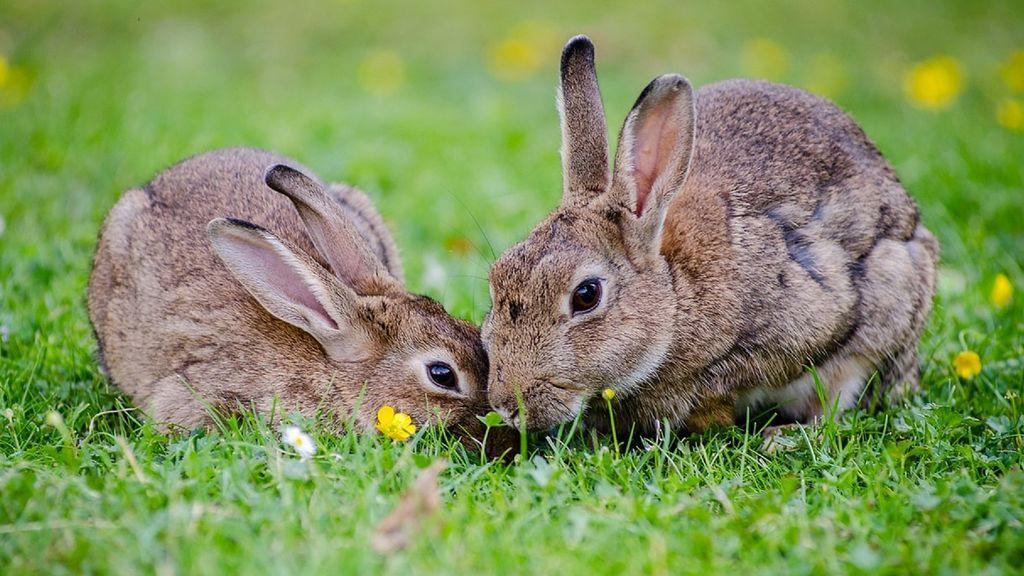 Una pareja de conejos enamora a Internet