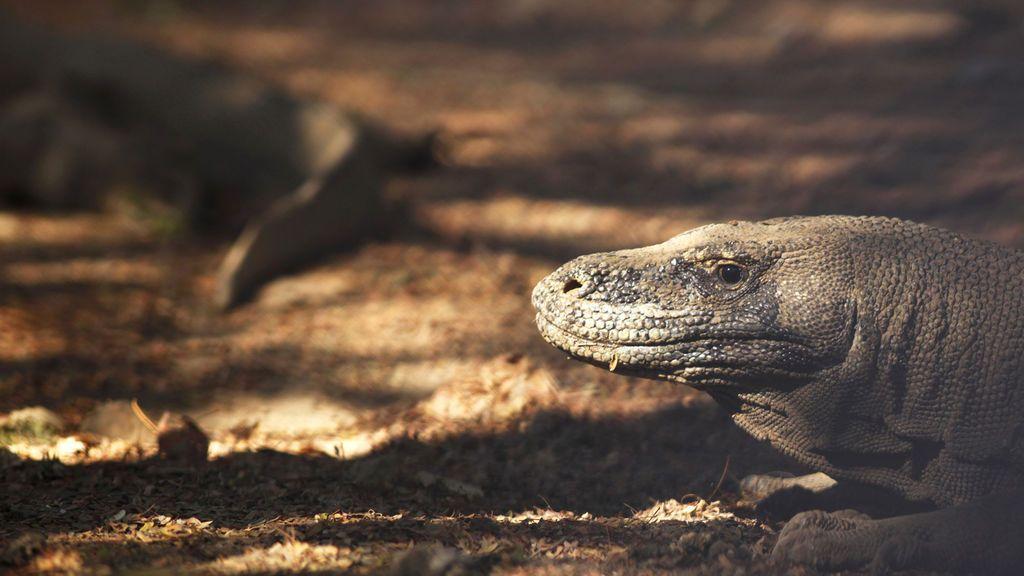 La isla de Komodo, hogar de los lagartos de mayor tamaño del mundo, espera ser cerrada durante un año