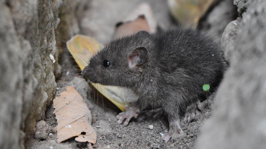 Plaga de ratas de medio kilo en Pontevedra por razones meteorológicas