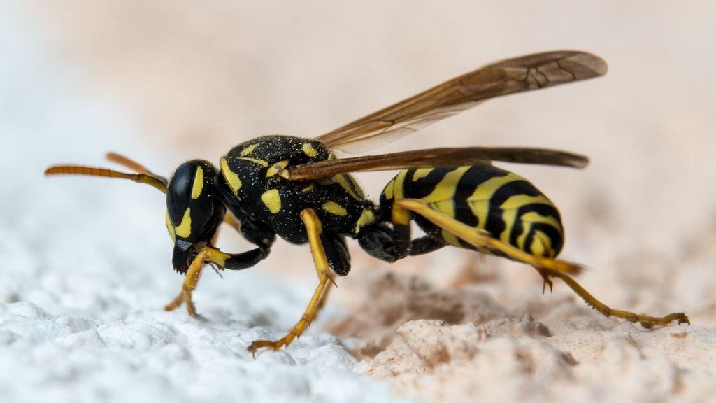 Cómo puedes saber el tiempo que va a hacer mirando las abejas y las avispas