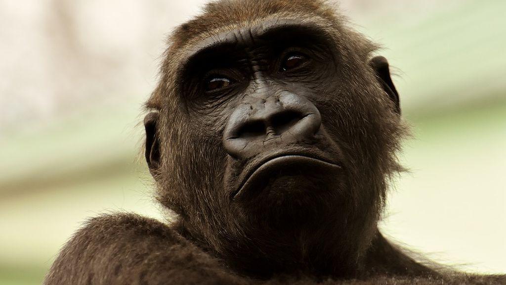 Los gorilas velas por sus seres queridos y por los desconocidos