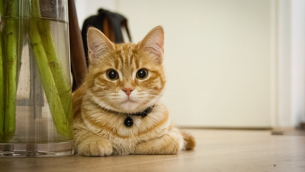young-cat-718785_960_720